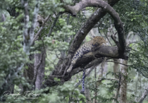 Leopards of Kabini.