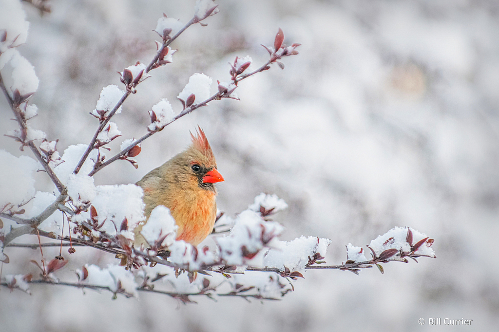 Female Cardinal on Snowy Branch