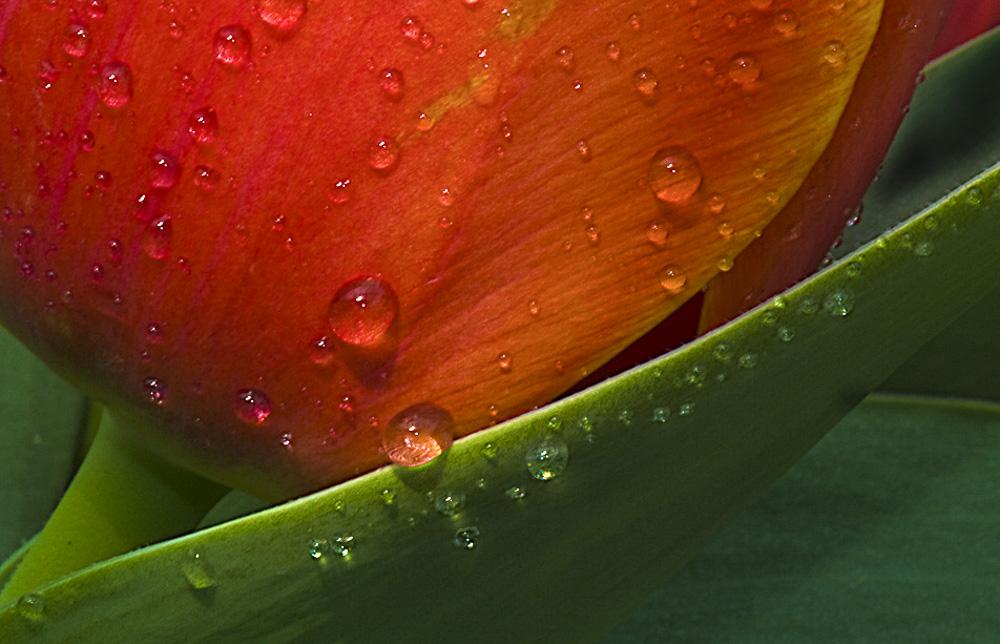 Tulip Detail