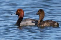 Red Head Duck Pair