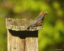 Moth for Baby Bluebirds