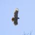 Red Tail Hawk in Flight - ID: 15815550 © deb Wright