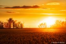 Sunset glow on soybean field