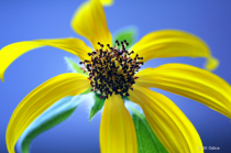 Miracle Sunflower