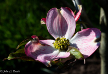 Dogwood in the Afternoon