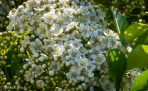 Pyracantha Blossoms