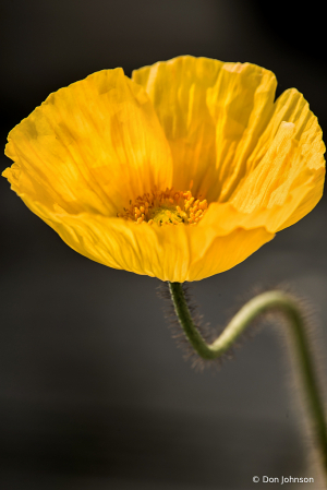 Another Yellow Spring Poppy 4-5-20 397