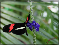The Black, White & Red Butterfly...