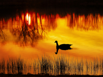 Goose at Sunset - website