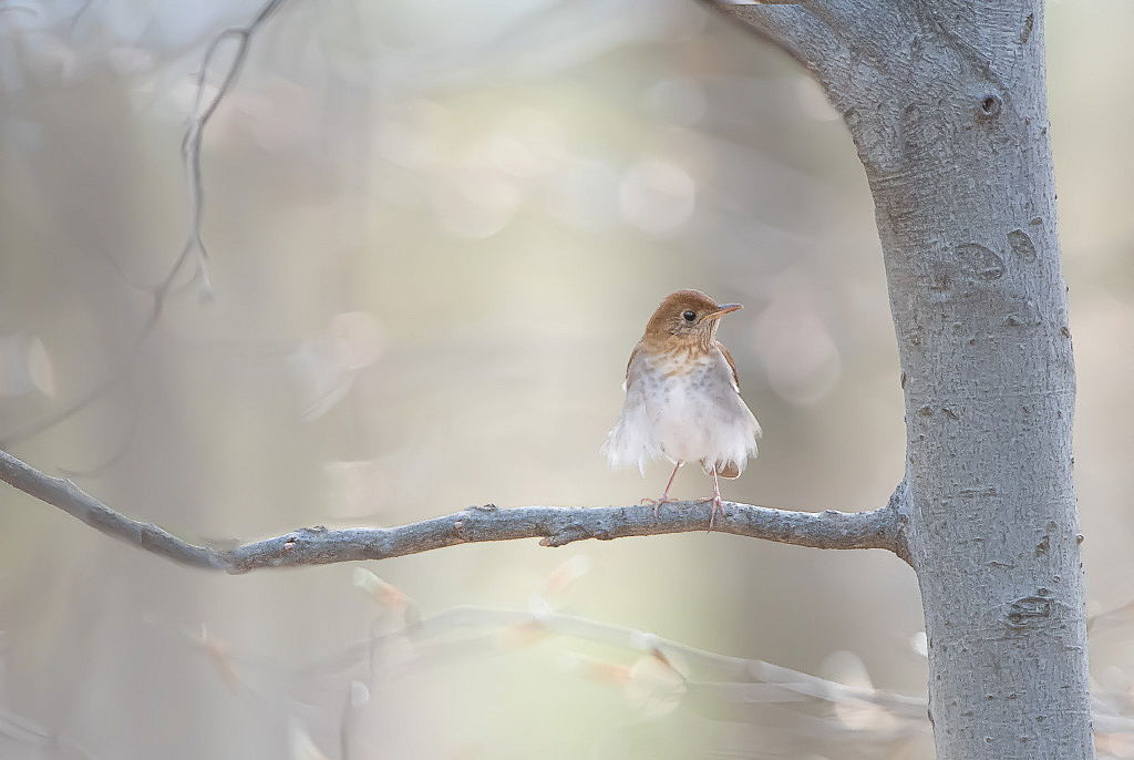 April 2020 Photo Contest Grand Prize Winner - Hermit Thrush