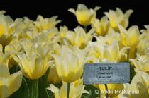 Tulipa Hybrid