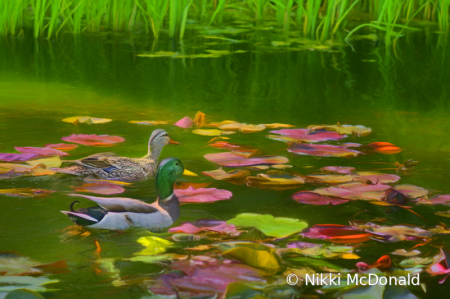 Mallard Pair in Lily Pond