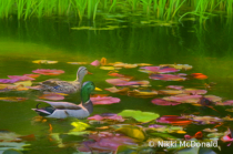 Mallard Pair in Lily Pond