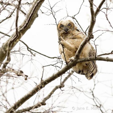 Owlet Portrait