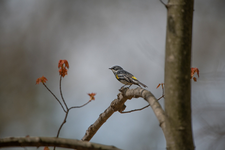 Yellow Rumped Warbler in the Woods Today