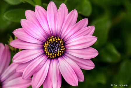 Osteospermum Purple 4-25-20 195