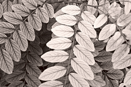 Leaves in B&W.