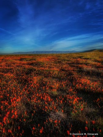 ~ ~ POPPIES IN THE MEADOWS ~ ~