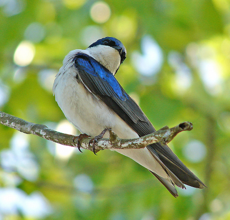 Tree Swallow Poser