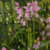Pink Bells - ID: 15816343 © Melvin Ness