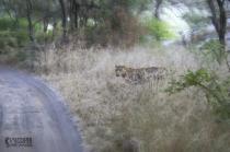 Leopard in grass !