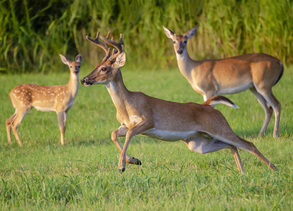 Running Deer - Website - ID: 15816842 © Larry L. Redmon