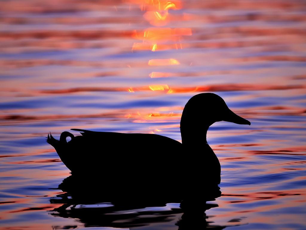 Mallard at Sunset - Website - ID: 15816843 © Larry L. Redmon