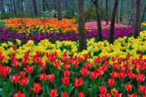 Tulip Field - Website