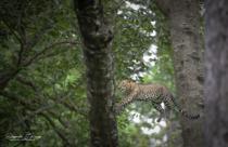Flying Leopard !