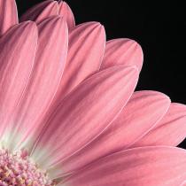 Pastel Pink Petals