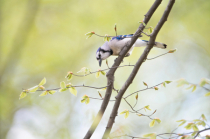 Bluejay and the Blossoms