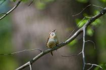 Carolina wren Singing in the Woods