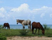 Wild Horses of Vieques, Puerto Rico