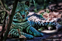 Ocelot in Shade