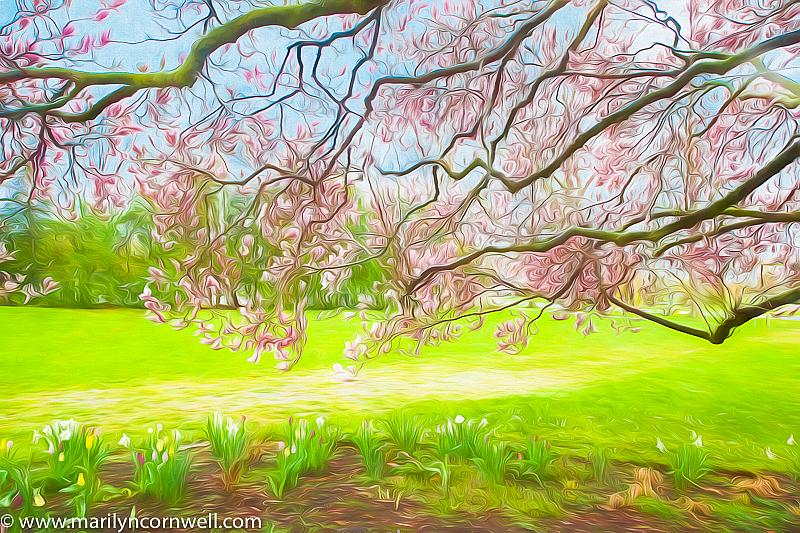Magnolia in Niagara - ID: 15817279 © Marilyn Cornwell