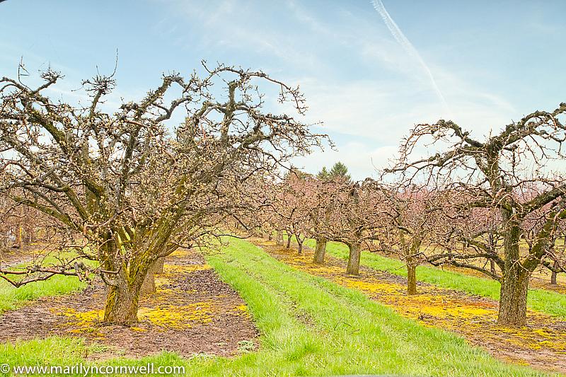 Orchards in April in Niagara - ID: 15817280 © Marilyn Cornwell