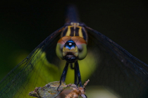 Dragonfly with colorful head