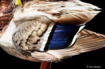 Mallard Close-up