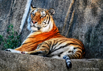 Tiger at the Toledo Zoo