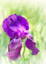Iris Joy