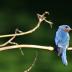 © Theresa Marie Jones PhotoID # 15817441: Male Bluebird