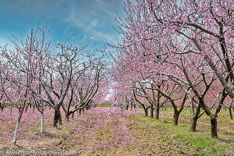 Niagara's Blossom Trail - Trimming Time - ID: 15817930 © Marilyn Cornwell