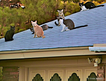 Cats on hot tin roof