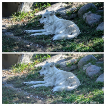 White Wolf at the Toledo Zoo