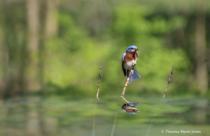 Bluebird Reflection