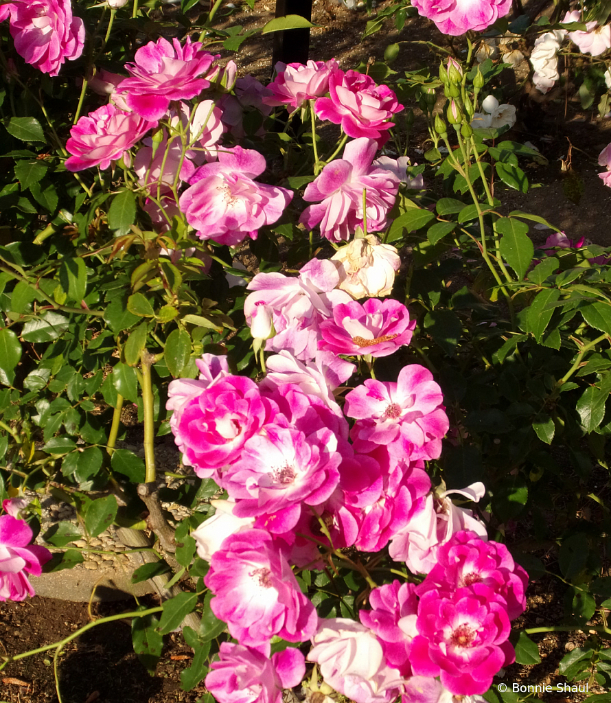 2 Pinks Roses