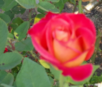 Red & Orange Rose 1