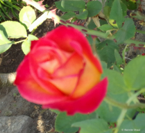 Red & Orange Rose 2