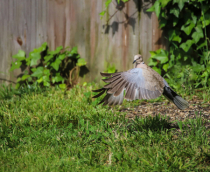 Ring-necked Dove on take off!