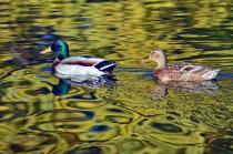 Mallard Pair With Fall Colors